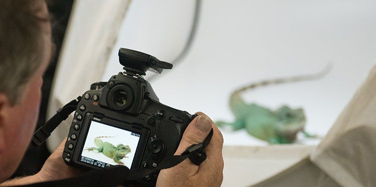 Joel Sartore taking a photo of an endangered chameleon