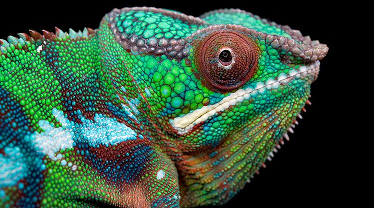 Close up of the Panther Chameleon, an animal that inspired the collection.